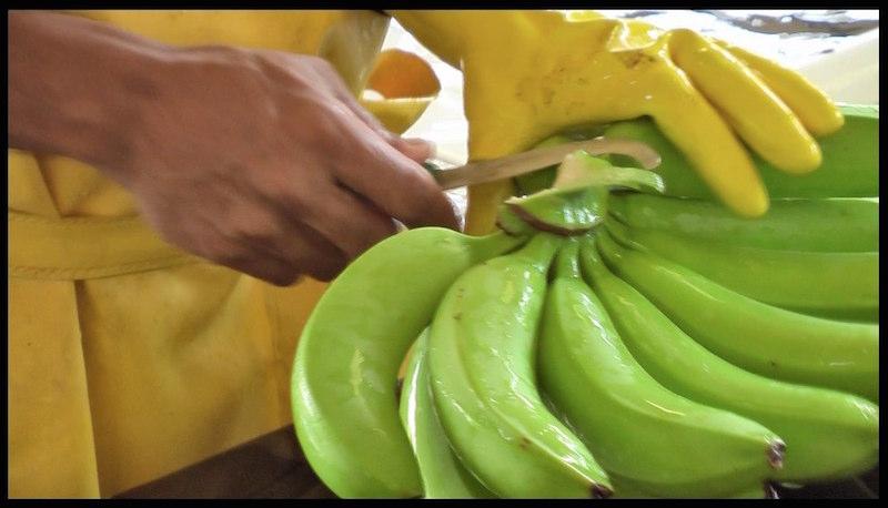 United Fruit3 800